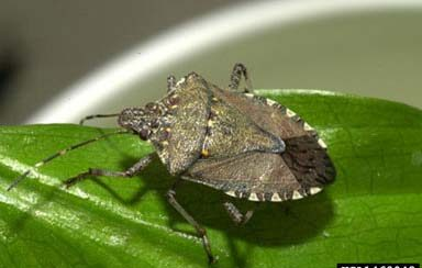 Brown Marmorated Stink Bug - UNH Extension