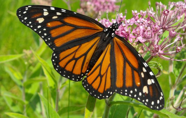 Monarch butterfly on weed