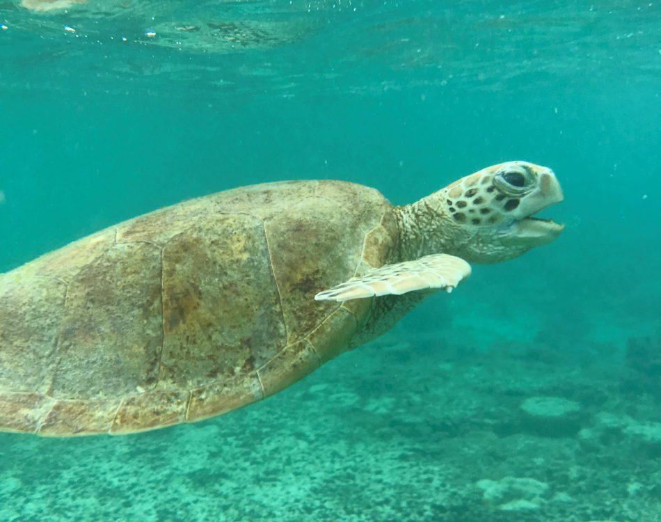 Lady Elliot Island Turtle