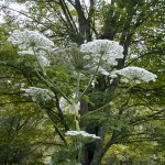 Hogweed_Flower_lookalike