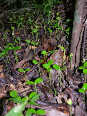A dense patch of Pleradenophora longicuspis seedlings in Belize