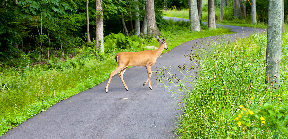 Deer on sidewalk