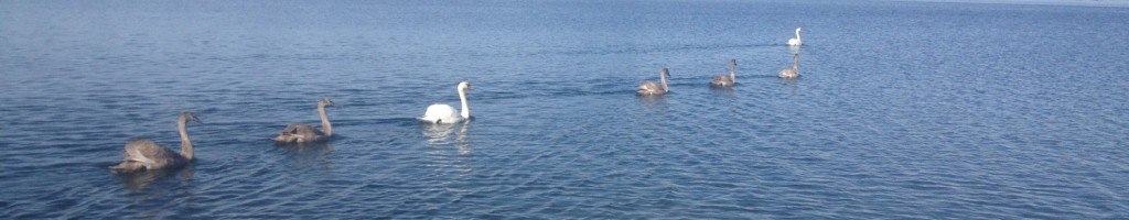 Swans at Poquonnock River