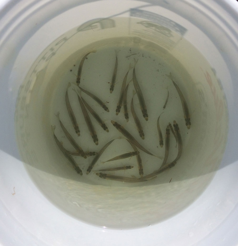 bucket of silversides
